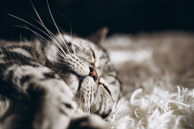 Sonnolento gatto domestico sul divano