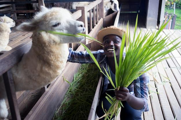 Sorridi l'uomo africano del coltivatore che tiene l'erba per l'alimentazione delle pecore