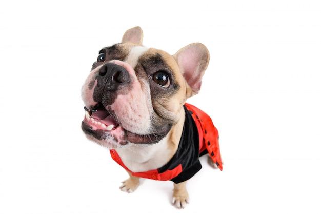Sorriso sveglio e seduta del bulldog francese isolati su bianco