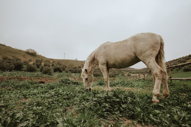 Sparato di un cavallo bianco che pasce sul campo di erba verde