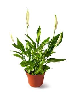 Spathiphyllum (spath o giglio di pace) in un vaso isolato sul percorso di ritaglio bianco
