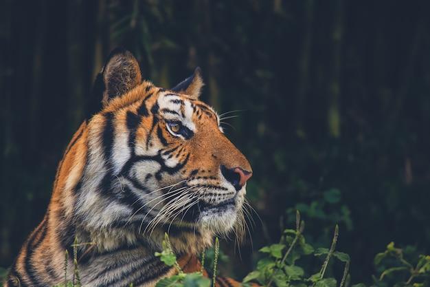Spettacolo di tigri nello zoo