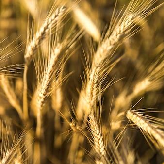 Spezie dorate del primo piano del grano