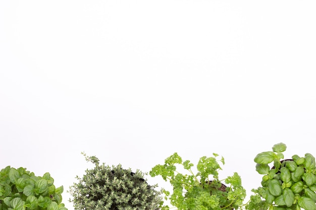Spezie verdi fresche isolate su priorità bassa bianca