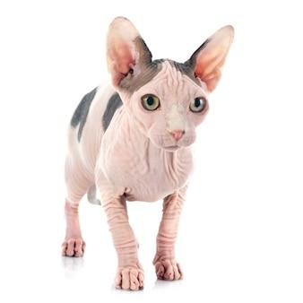 Sphynx gatto senza peli