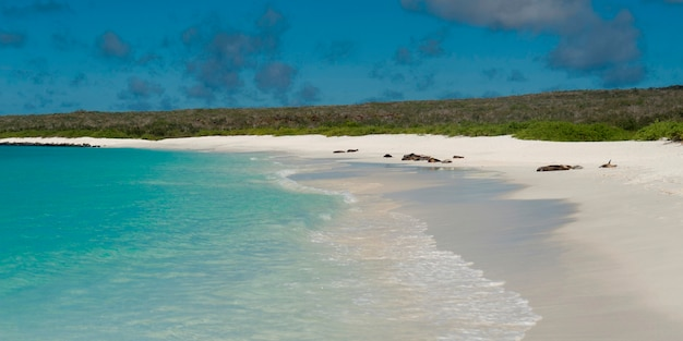 Spiaggia con leoni marini delle galapagos (zalophus californianus wollebacki) sullo sfondo, gardner bay, espanola island, isole galapagos, ecuador
