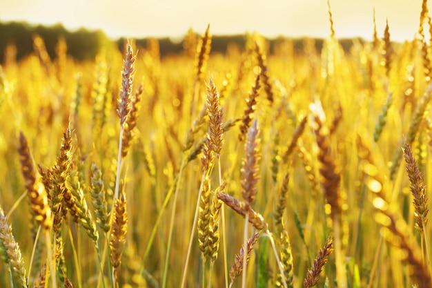 Spighe d'oro nella calda luce del sole. campo di grano nella luce del tramonto.