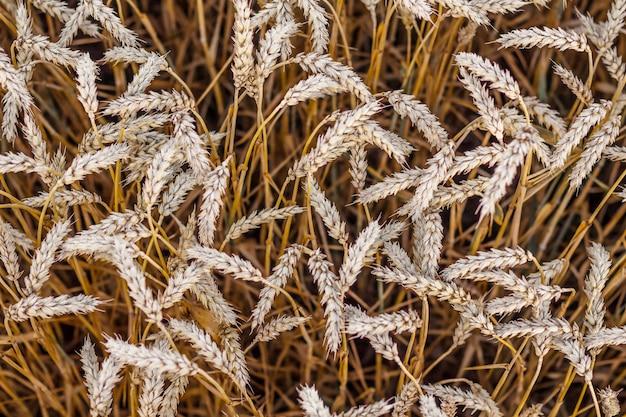 Spighe di grano maturo con, la vista dall'alto. modello di spighe di grano