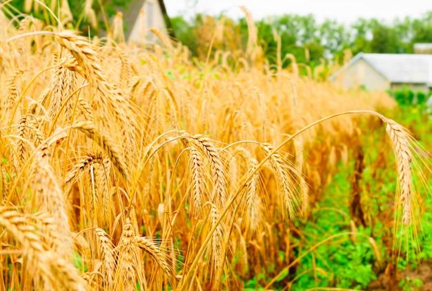 Spighe di grano su un campo