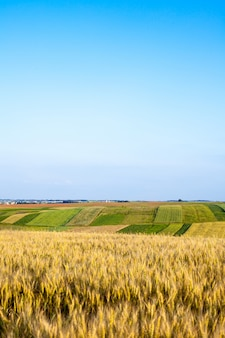 Spighe di maturazione del campo di grano.