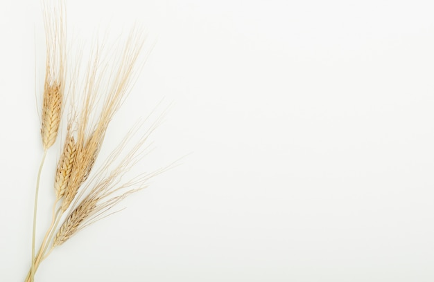 Spighe secche di cereali nel raggio su uno sfondo bianco.