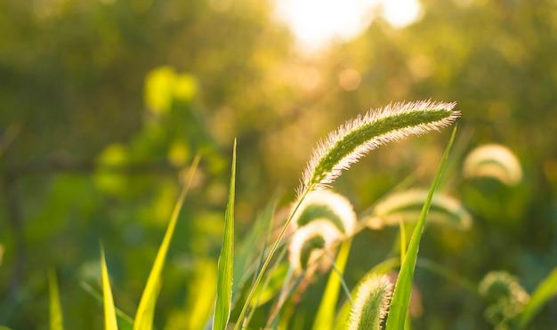 Spighetta di erba su un verde durante il tramonto