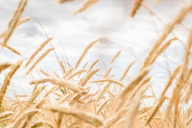 Spighette di grano su un campo in una fattoria sullo sfondo di un cielo blu