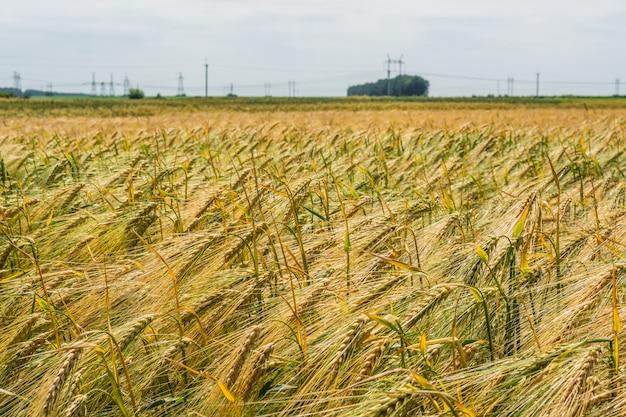 Spighette di orzo verde, intasate di grani pesanti, sullo sfondo del campo e del cielo