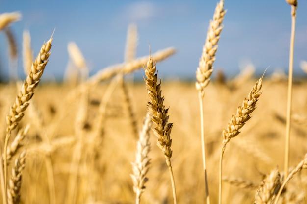 Spighette dorate di grano maturo nel campo sul fondo del cielo