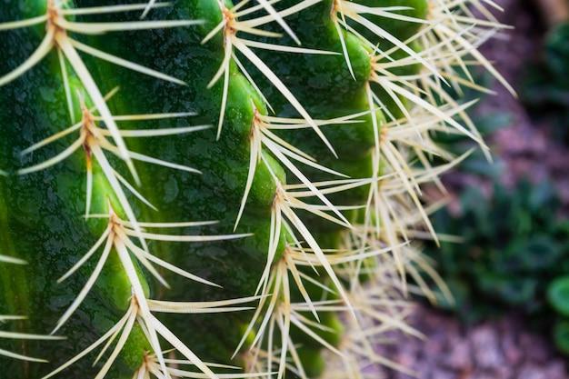 Spine lunghe e affilate di un cactus. foto a macroistruzione