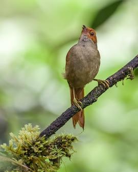 Spinetail dalla faccia rossa che canta su un ramo di albero