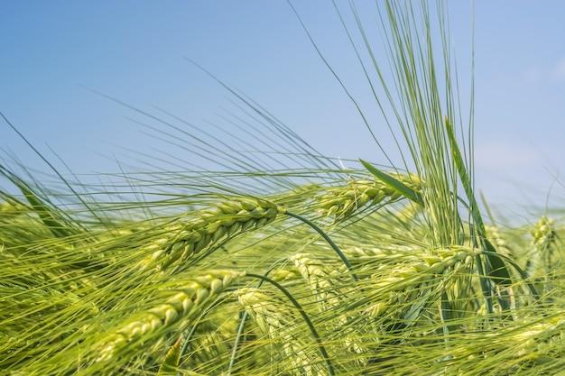 Spinning spighe di grano sullo sfondo di un chiaro cielo blu
