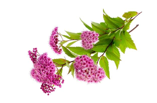 Spiraea japonica con infiorescenze rosa