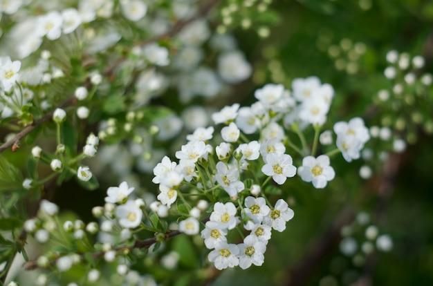 Spirea bianca, bush of thunbergii o thunbergii meadowsweet