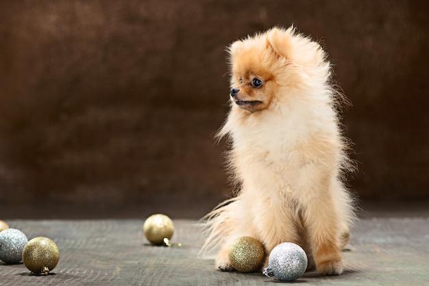Spitz-cane in studio su uno sfondo neutro