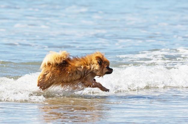 Spitz nel mare