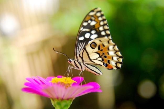Splendide farfalle succhiano il miele dei fiori