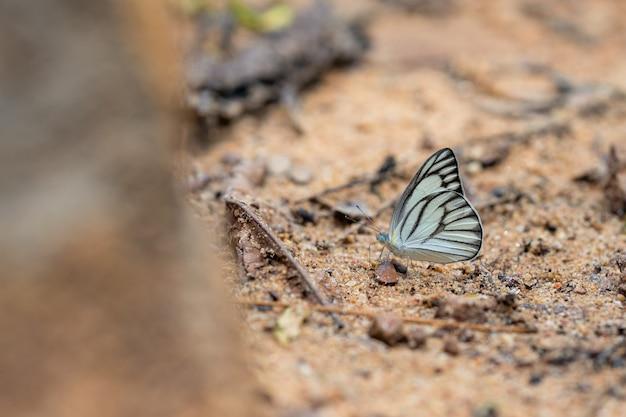 Splendide farfalle vieni a mangiare minerali. bel modello sulle ali di farfalla.