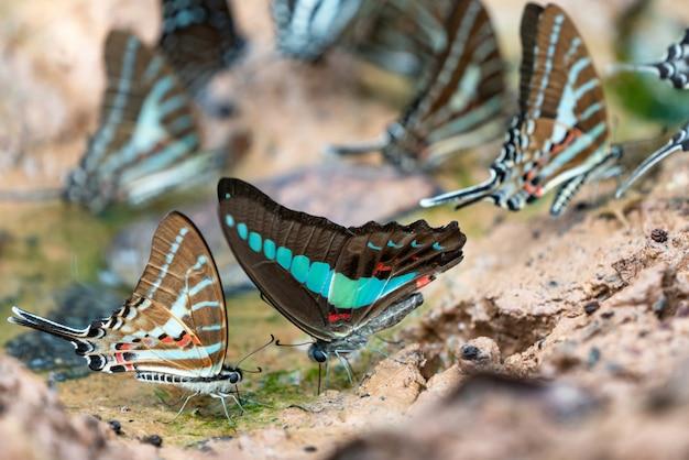 Splendide farfalle vieni a mangiare minerali