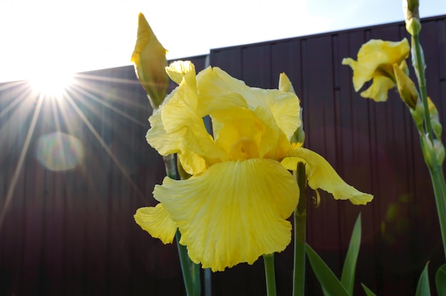 Splendidi cespugli di iris in giardino. fiori gialli di iris close-up, con i raggi del sole al tramonto. fiori di primavera estate.
