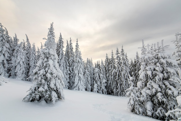 Splendido paesaggio montano invernale. abeti alti coperti di neve nella foresta di inverno e cielo nuvoloso