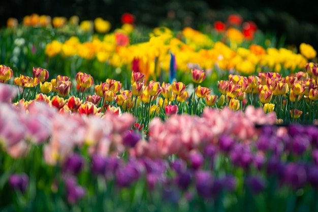 Splendido scenario di un campo con tulipani colorati su uno sfondo sfocato