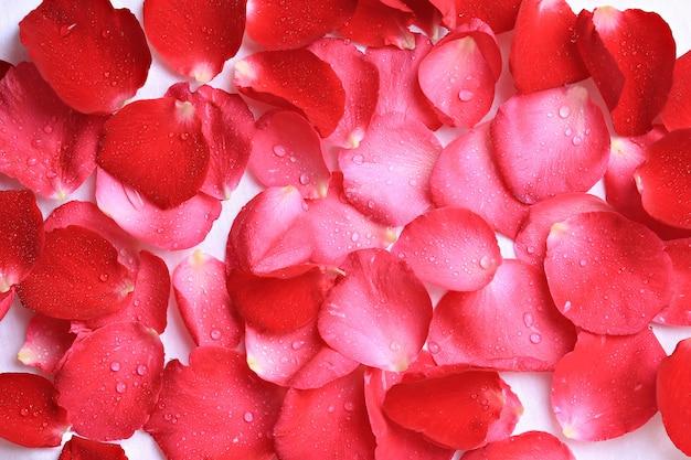 Spruzzare su petali di rosa isolati su sfondo bianco