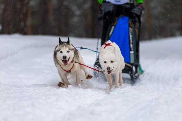 Squadra di cani da slitta husky in imbracatura