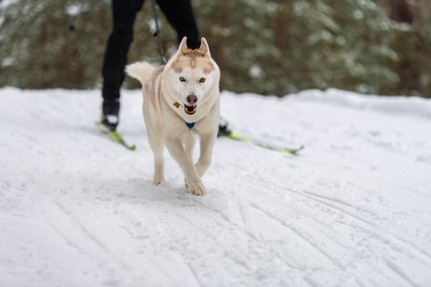 Squadra di cani da slitta husky nella corsa dell'imbracatura e tirando il cane driver corse di cani da slitta. competizione di campionati sportivi invernali.