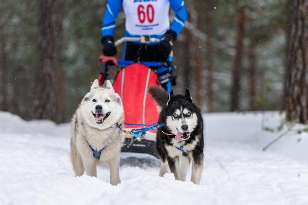 Squadra di cani da slitta husky nella corsa dell'imbracatura e tirando il driver del cane. corse di cani da slitta. competizione di campionati sportivi invernali.