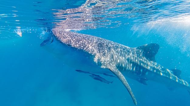 Squalo balena di oslob guardando a oslob, cebu island, filippine.