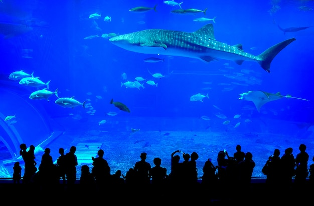 Squalo balena nell'acquario churaumi di okinawa in giappone