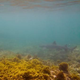 Squalo pinna bianca (triaenodon obesus) che nuota sott'acqua, puerto egas, isola di santiago, isole galapagos, ecuador