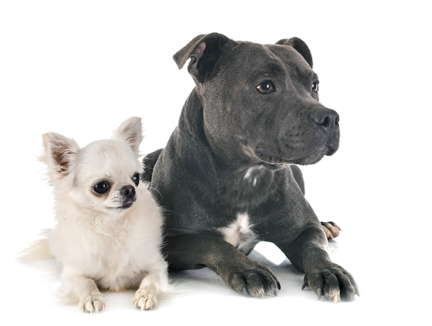 Staffordshire bull terrier e chihuahua