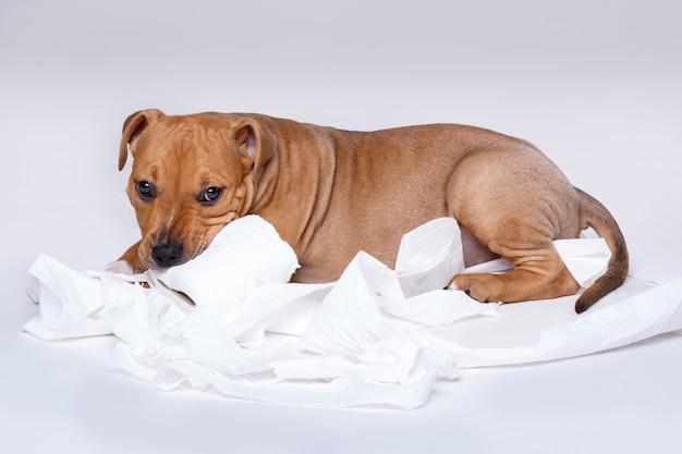 Staffordshire terrier cucciolo e rotolo di carta igienica