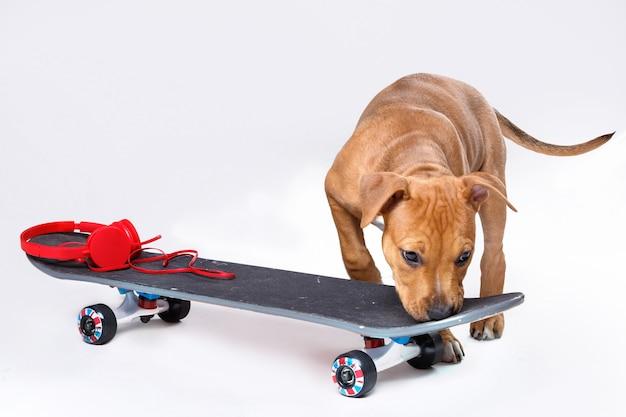 Staffordshire terrier cucciolo e skateboard