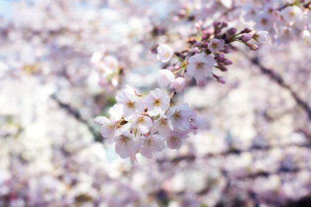 Stagione dei fiori di ciliegio o sakura. priorità bassa astratta del fiore di ciliegia nel giappone.