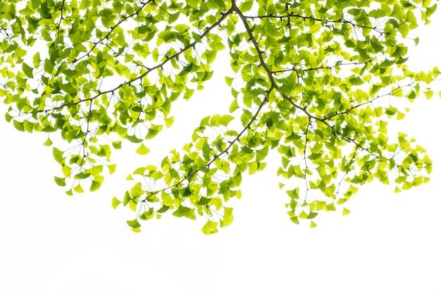 Stagione estiva della molla di permesso verde chiaro fresca isolata