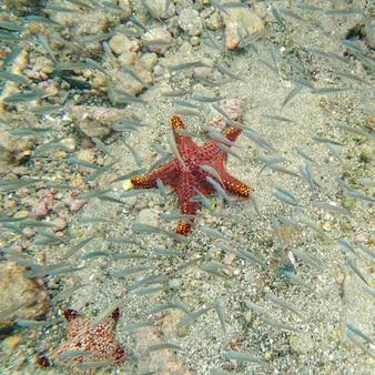Starfish e scuola di pesce che nuota sott'acqua, bartolome island, isole galapagos, ecuador