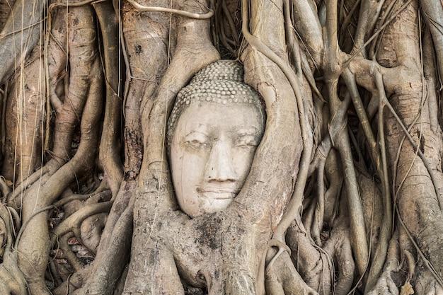 Statua della testa di buddha all'interno dell'albero di bodhi