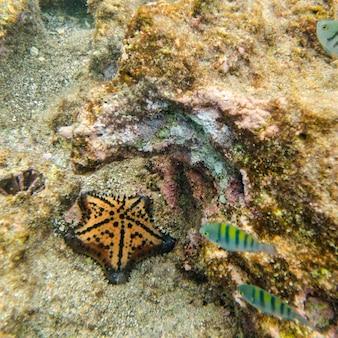 Stella marina che nuota underwater, isola di bartolome, isole galapagos, ecuador