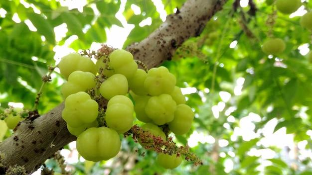 Stella uva spina sull'albero.