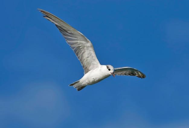 Sterna comune dell'uccello di sterna di sterna che vola nel cielo
