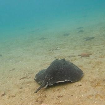 Stingray e stelle marine che nuotano sott'acqua, bartolome island, isole galapagos, ecuador